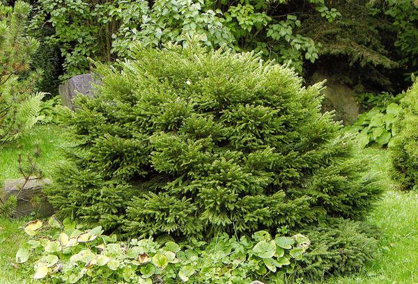 Хвойные растения с шаровидной и