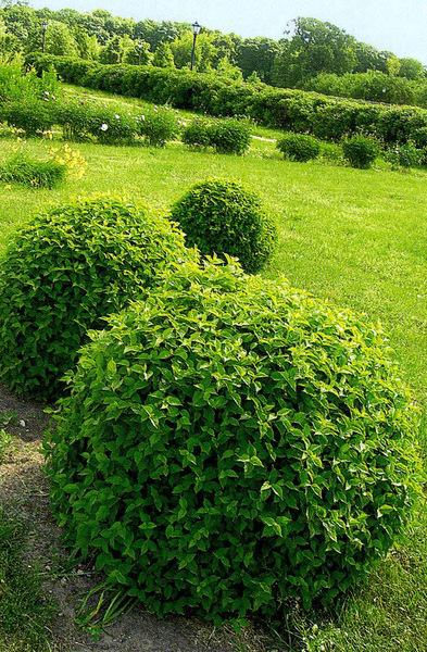 Лиственные растения с шаровидной и