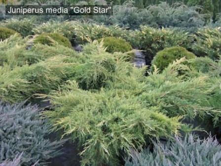 Хвойные растения для малого сада
